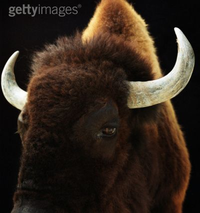 i am oxen, hear me roar//getty