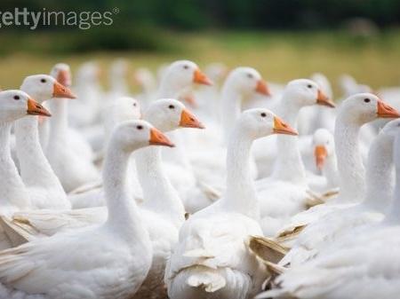 stuffed geese? golden eggs?