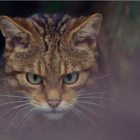 the tigers of scotland scottish wildcat